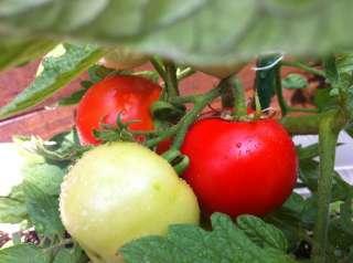 トマトがついに♪