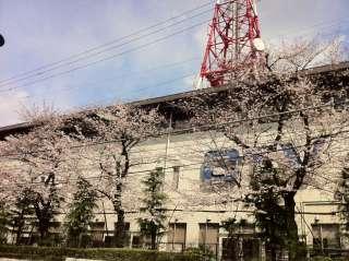 桜満開もうすぐ!!